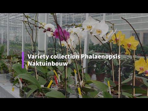 Phalaenopsis DUS Testing at Naktuinbouw, Netherlands