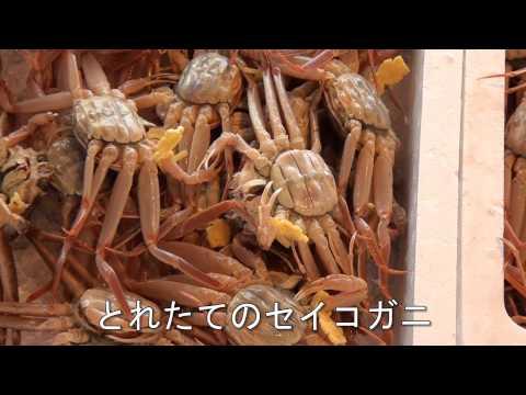 福井県の冬の味覚・越前ガニ漁が解禁 越前漁港で初競り