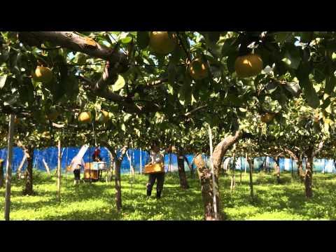 山形県庄内地方の梨の名産地、刈屋の風景です。