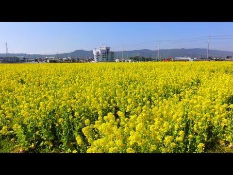 菜な畑ロード / 約7000坪の菜の花畑 (千葉県鴨川市) 2013年3月6日