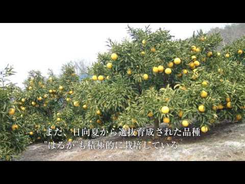 【破】大長みかん&レモン〜全く新しいみかんの味。国内と海外を見据えた展開