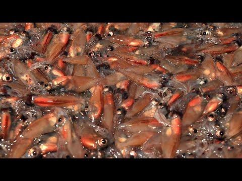 富山湾でホタルイカ漁が最盛期