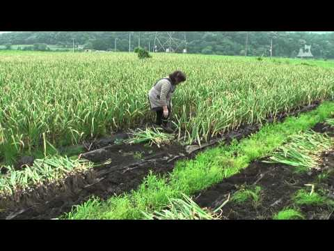 田子にんにく - 収穫 - 0105A