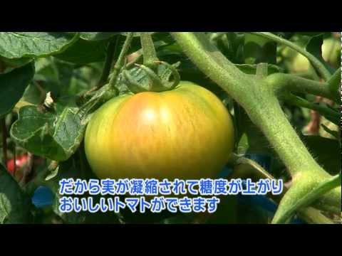 「塩」なのに甘い! サプライズな塩トマト Amazing Shio(salt) Tomato
