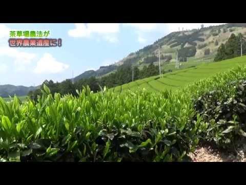 東山産特選深蒸し掛川茶・茶草場農法のお茶作り Chagusaba Farming Methods Certified by the World,Japansese green tea