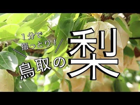 1分で撮っとり!鳥取の梨