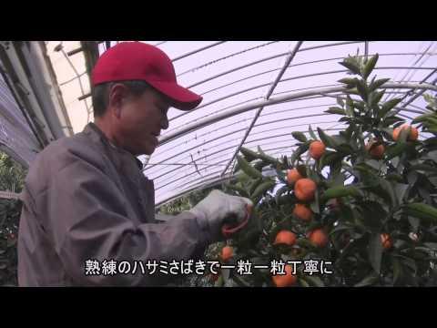 桜島小みかんのご紹介① 桜島小みかんの収穫編