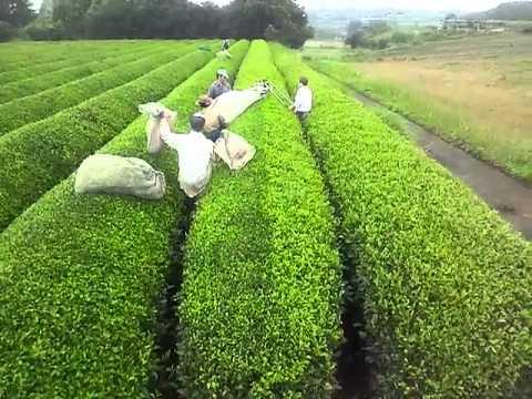 熊本県球磨郡錦町 茶摘み風景
