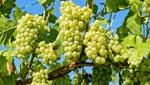 商標登録insideNews: 果物の品種登録 海外への無断流出を防げ – 西日本新聞