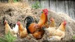 商標登録insideNews: 農水省 奥久慈しゃも GI登録 地鶏では全国初 | 茨城新聞