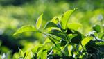 商標登録insideNews: パッケージもそっくり…宇治抹茶の中国産模倣品が海外にも 世界的な抹茶ブームで | 日本食糧新聞電子版