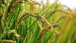 商標登録insideNews: 県育成米新品種「粒すけ」について | 千葉県