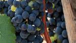 商標登録insideNews:「門外不出」のブドウで大阪産ワインをブランド化へ 復権狙う地元ワイナリー   SankeiBiz